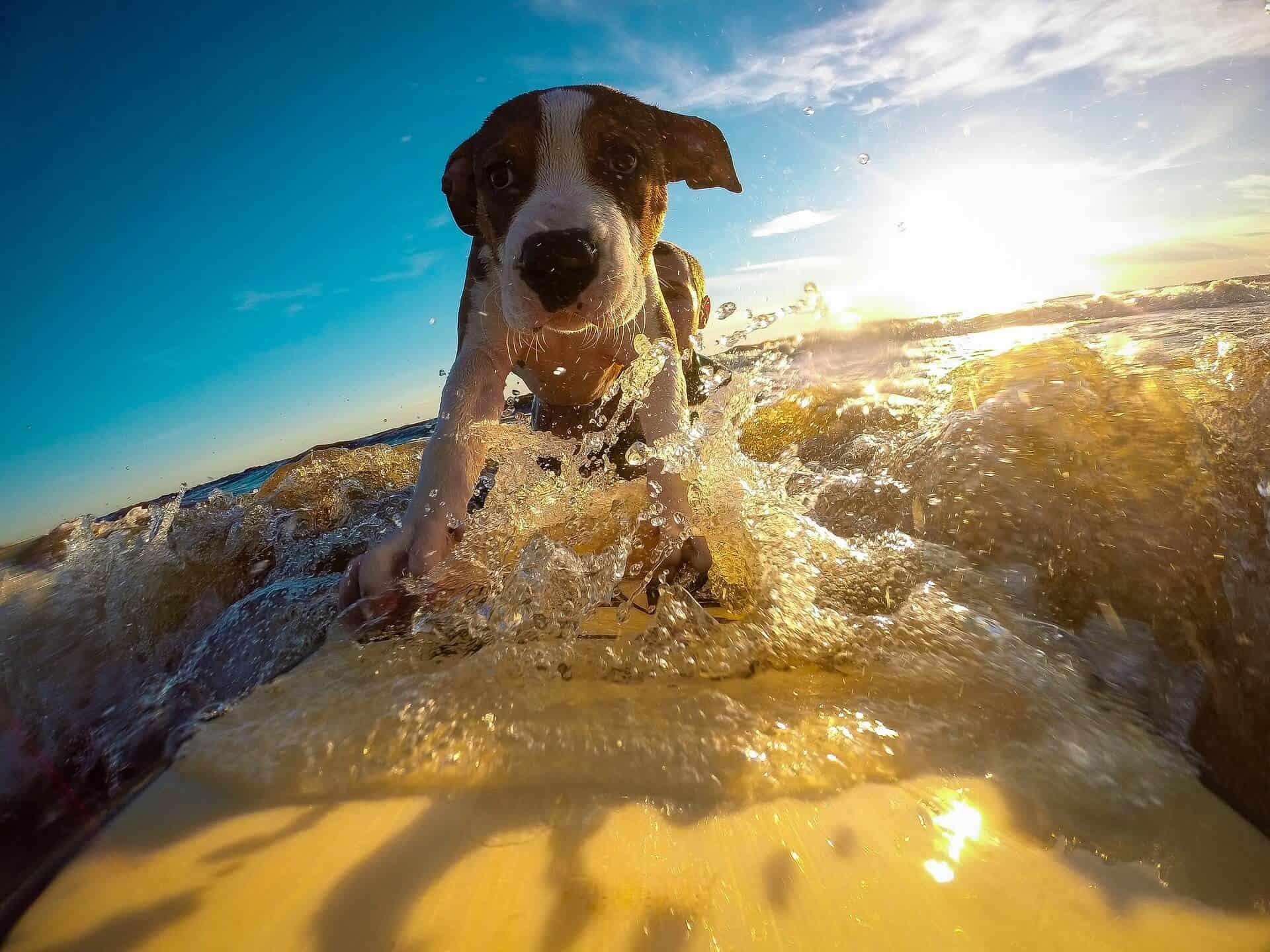 Surfing puppy dog