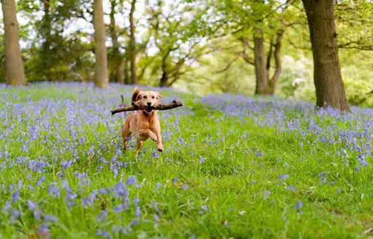 happy dog amid the bluebells in springtime england